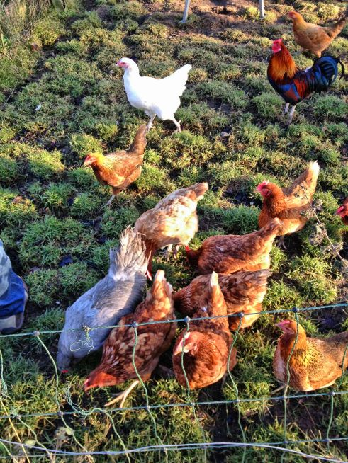 Freerange chickens including Marsh Daisies and Ixworth