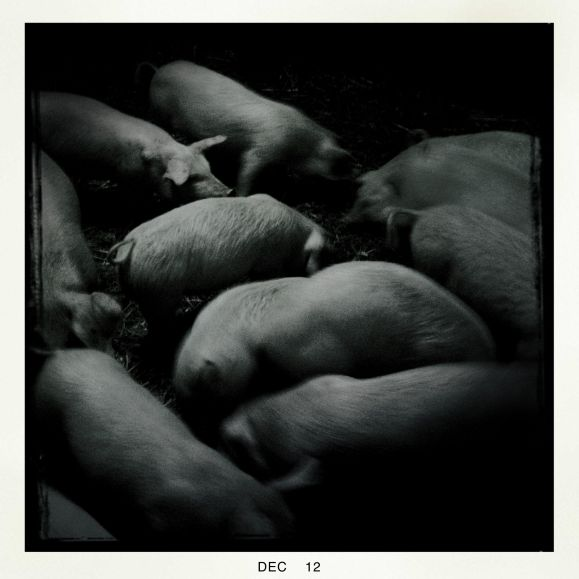 A group of British Lop eared pigs in a stall