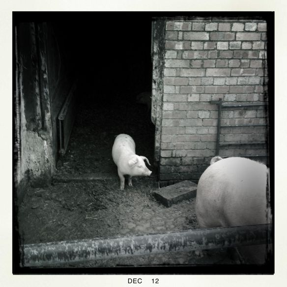 A lop eared piglet looking out the pigsty door for his mother pig