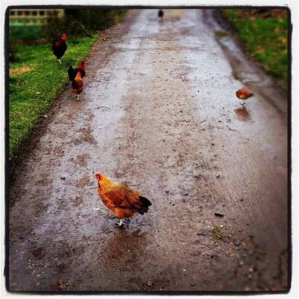 Freerange chicken crossing the road to Hazledene Farm