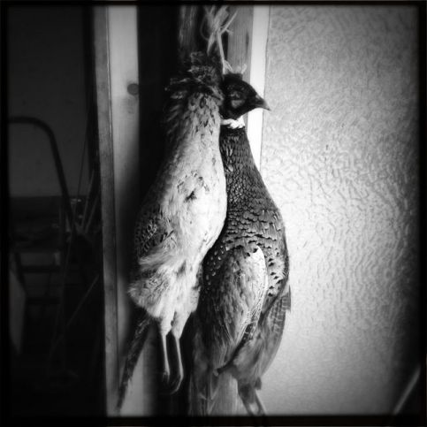 A brace of pheasants