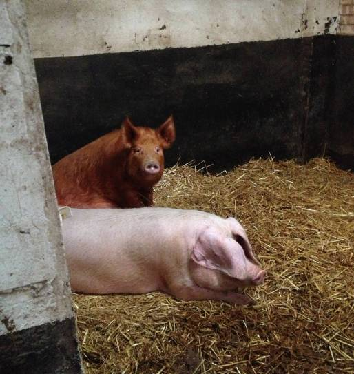 A lop eared pig and...er... a ginger one.
