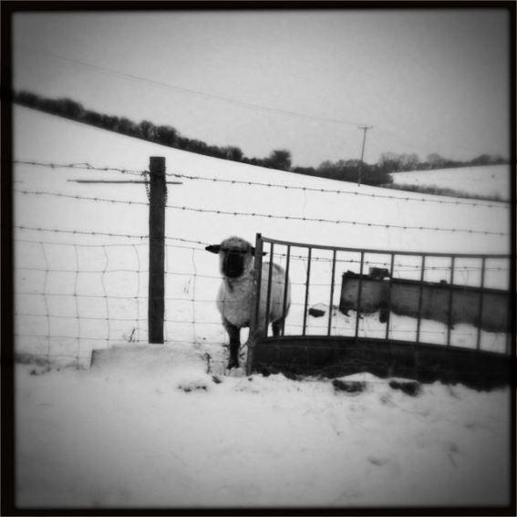 A ewe on the farm