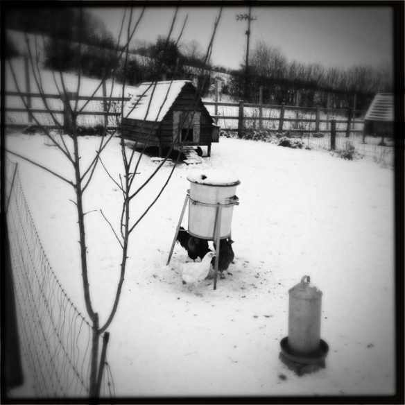 Free range chickens in Hazeldene Farm, in the snow