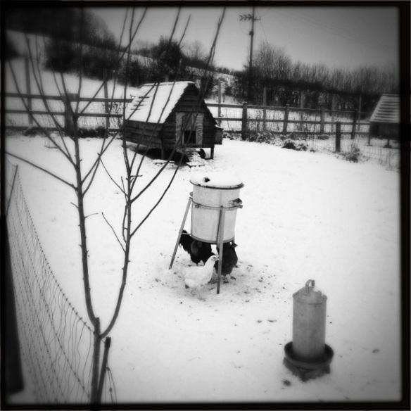 Free range chickens in Hazeldene Farm, in the snow